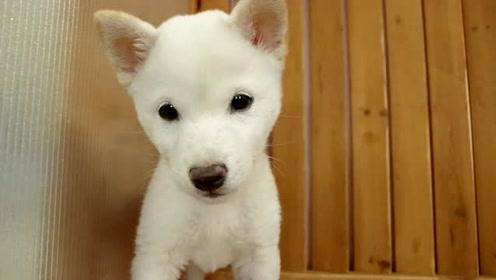 刚接回家的柴犬宝宝面对镜头紧张的瑟瑟发抖,这双眼皮真是太萌了!
