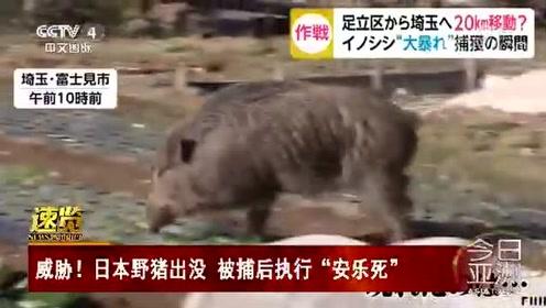 """威胁!日本野猪出没 被捕后执行""""安乐死"""""""