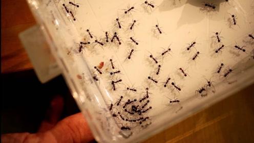 """当蚂蚁遇见磁铁,蚂蚁会被""""控制""""吗?下一秒发生惊人一幕"""