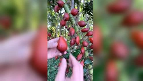 第一次见到这样的果子,扒开果皮后,相信很多人都没吃过!