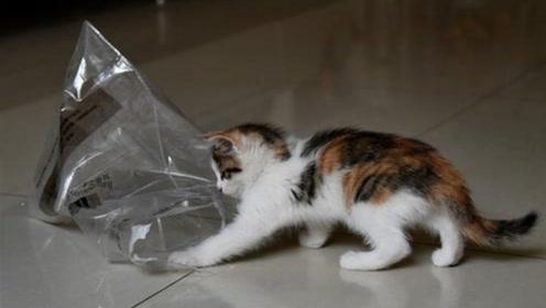 母猫玩塑料袋玩嗨了,小猫想要玩一下,瞬间被收拾了