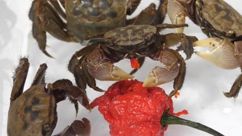 螃蟹不怕辣椒吗?死神辣椒都吃的津津有味,这是提前入味吗?