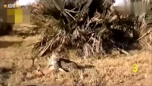 母鹿不幸被豹子咬中,在关键时刻,狒狒仗义出手相救