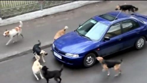 7只流浪狗围堵一辆轿车,司机立马踩油门,镜头拍下全过程