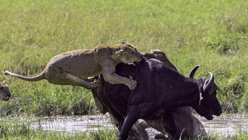 水牛大杀10头狮子,救出受伤的大象,化身侠客行侠仗义