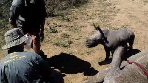 犀牛妈妈被割角,犀牛宝宝为保护妈妈,用弱小的身体去顶撞人类