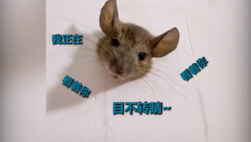 胖老鼠钻洞进屋偷吃被卡墙上 户主哭笑不得:看着我上厕所怪尴尬的