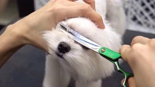 宠物美容师修剪贵宾过程太搞笑,狗子:是谁遮住了我的眼帘