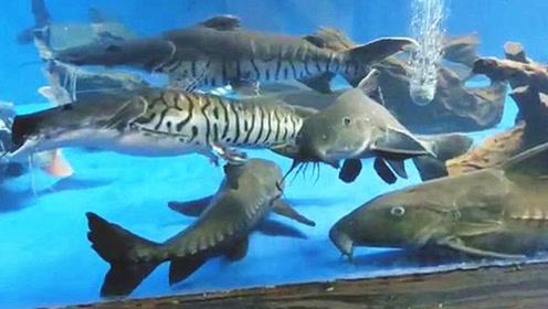混养3年的一大群宝贝野生鱼,看着它们嬉戏,真想抓几条回家养着