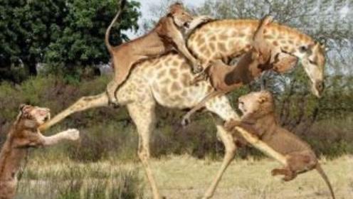 好脾气的长颈鹿,发起飙来有多恐怖?一脚把狮子踹出三米远!