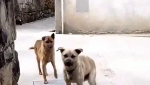 路上遇到狗子千万不要怂,用气势压垮他们,没想到它们却这样对我!