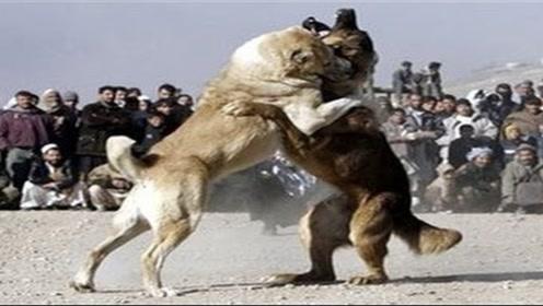 三匹狼挑战一只藏獒,锁喉高手们分开包围它,藏獒能否前后应付