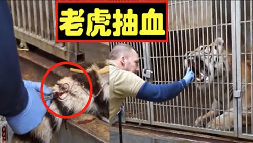 """饲养员给老虎抽血,""""前戏""""就得20分钟!下一秒傻眼了!"""