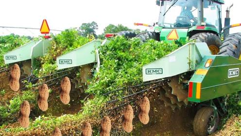 看看国外的机械化收花生,省时省力,高效的收割方式,农民的福利
