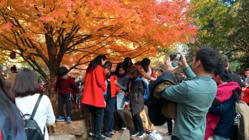 中国四大赏枫胜地之岳麓山:进入最佳观赏期,游客激情拍照