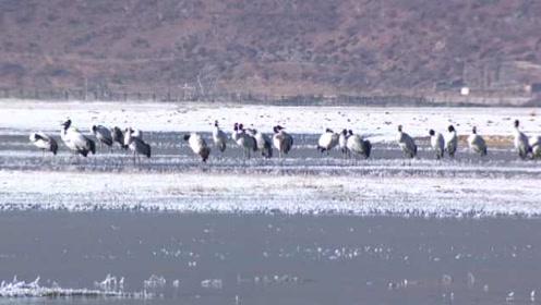香格里拉纳帕海湿地3万只候鸟聚集,雪后美如仙境