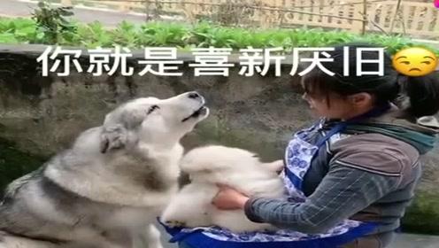 哈士奇不满奶奶抱着别的狗狗,看它吃醋的小模样真可爱,萌萌哒!