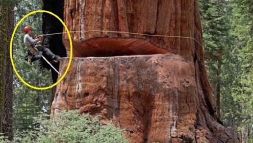 为什么金丝楠木比黄金还贵?切开树木的内部看到里面,就全明白了
