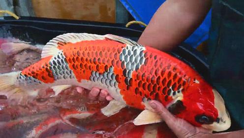 捕鱼:像这种漂亮的日本锦鲤,村民一次就能捕获多条,真是赚大了