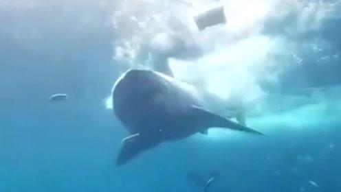 大白鲨头卡在观察笼子里流血身亡 网友愤怒了