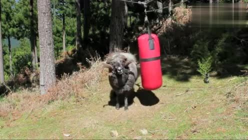 愤怒的山羊挑战沙袋,谁也不要拉我,老子今天就要顶死你