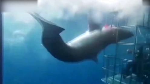 罕见瞬间!鲨鱼攻击笼内潜水员反被卡住 痛苦挣扎后沉尸海底