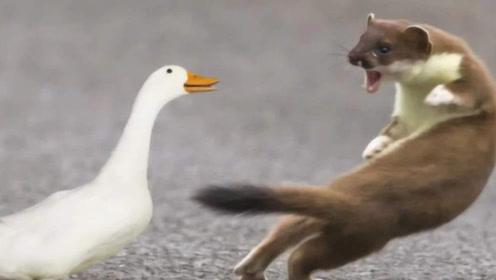 为何黄鼠狼害怕遇到鹅?难道是因为打不过?原来是有科学依据的