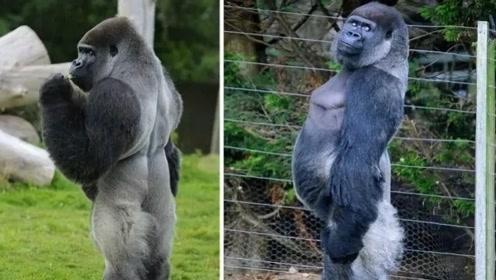 洁癖只有人类才有?快看这只比人类还爱干净的大猩猩,洁癖严重到直立行走!