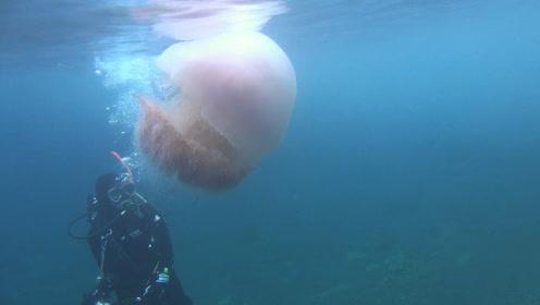 近距离观赏海底大水母,优雅但有毒的大果冻!