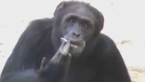 朝鲜动物园允许猩猩抽烟?这慢性自杀式的行为,却异常受欢迎