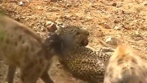 鬣狗群试图杀死年迈的饥饿花豹,结果出人意料,花豹虽老余威犹在!