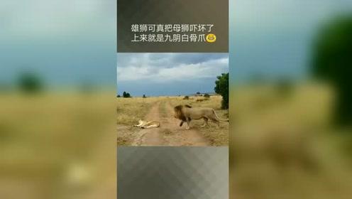 雄狮可把母狮吓坏了,就是挠啊