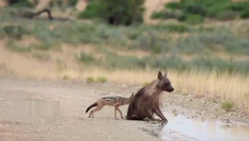 豺狼偷袭比自己大两倍的斑鬣狗,鬣狗会如何收拾这只不知天高地厚的家伙呢