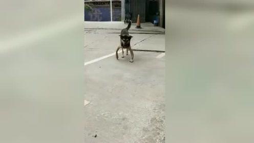 """狗界""""罗圈腿"""",这走路的姿势不是一般的霸气!"""
