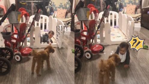 最佳牧娃犬!宝宝刚学会越狱 立刻被狗狗赶回去:再不回叫你妈!