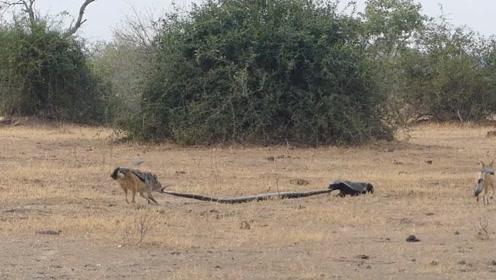 反杀蟒蛇、打跑胡狼!实拍:蜜獾缠斗大蟒蛇又遭两只胡狼攻击