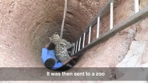 花豹下山觅食不幸掉进深井,奄奄一息之时终于被人类发现了
