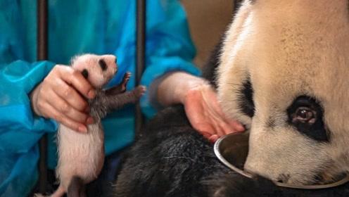 熊猫妈妈竟然害怕自己的孩子,这究竟是为什么?