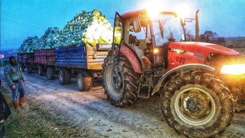 农场主下地收获包菜,一拖拉机托了满满三拖车,又是一场大丰收!