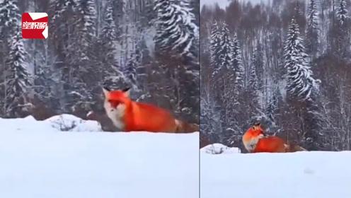 红色精灵!大兴安岭雪地惊现火狐狸,网友:太漂亮了