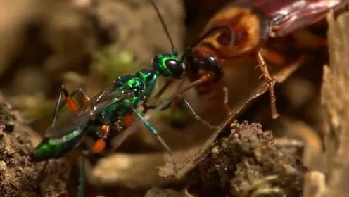 蜜蜂中的致命猎手僵尸蜂,将敌人变成自己的傀儡,太恐怖了!