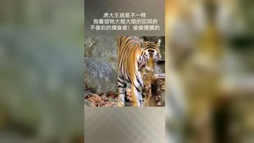老虎拖着猎物,大摇大摆的回洞府享用去了