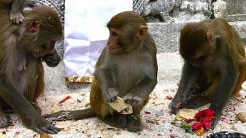 """印度最""""奇葩""""寺庙,供奉着3000只猴子,这些猴子光天化日""""拦路抢劫"""""""