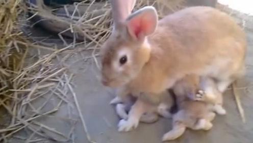 兔妈妈给兔宝宝喂奶,场面爆笑争抢,连围观的人拍照都懒得理