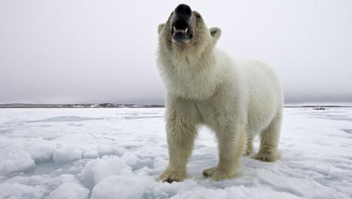 北极熊是陆地上最凶猛的食肉动物吗?大数据分析告诉你答案