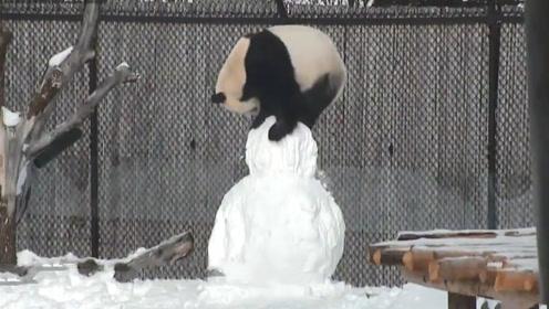 大熊猫玩雪人,结果不小心掰断了雪人脑袋,下一秒憋住别笑