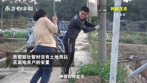 芳村灯光花田或将消失:因广州地铁建设需要,百亩花田被征