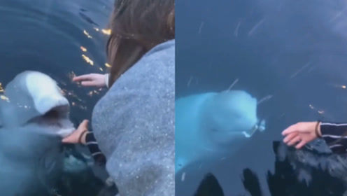 """动物也暖心!白鲸帮游客捡起水中手机 面带""""微笑""""求表扬"""