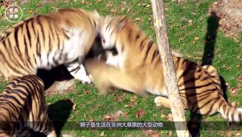 为何老年狮子会被饿死,晚年的老虎却不会呢?看完让人心疼