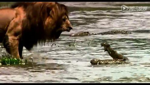 王者风范 狮子霸气下水震退凶猛鳄鱼